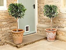 A Pair of Potted Olive Trees for Your Patio or Garden
