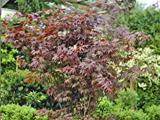 Three Spectacular Japanese Maple Plants Including Delivery