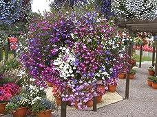 Summer-Flowering 120 Plant Bundle of Geraniums, Petunias and Lobelia