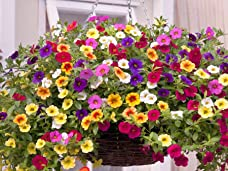 Two Pre-Planted Petunia Kabloom Hanging Baskets - Perfect for Summer