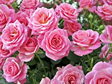 Garden Glamour Rose Collection - Five Rose Bushes for Your Garden