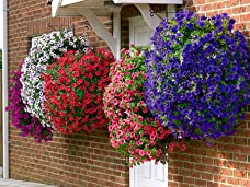 A Pair of Easy Fill Hanging Baskets with 24 Trailing Begonias and Petunias