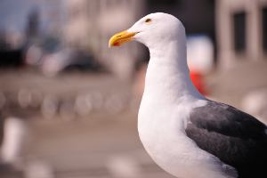 Picture shows a close-up of a seagull with the background out of focus.