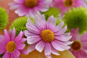 Picture shows a close up of a colourful daisy with a blurred background effect.