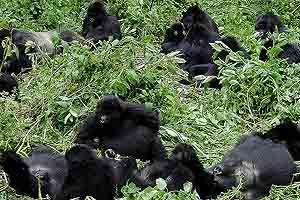 Wilder Planet Erde: Afrika - Gorillas