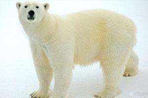 IMAX Bears