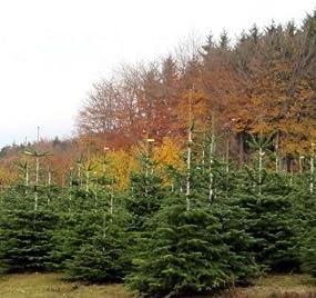 echter weihnachtsbaum nordmanntanne h ca 105 120 cm. Black Bedroom Furniture Sets. Home Design Ideas