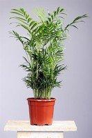 Inter Flower-Bergpalme 60cm+/- Chamaedorea elegans Arecaceae - Palmengewächse