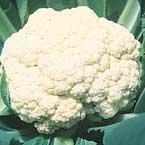 Premier Seeds Direct CAU02 selbst bleichende BlumenkohlSamen (Packung mit 600)