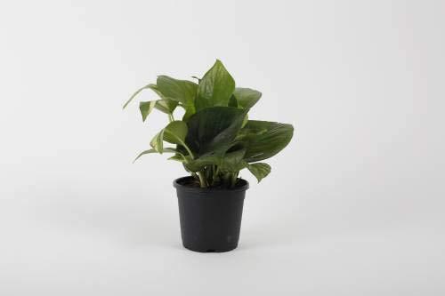 ShopMeeko Seed Syngonium In Black Pot Seed (1 pro Paket)