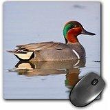 Danita Delimont - Ducks - Green-winged Teal, Leonabelle Turnbull Birding Center, Port Aransas,TX - MousePad