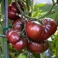 Tomate - Black Krim 10 Samen von Samenchilishop bei Du und dein Garten