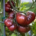 Tomate - Black Krim