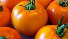 25 graines Heirloom Golden Orange Organic Garden tomate grosses tomates en or jaune