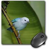 Danita Delimont - Birds - Blue-gray Tanager bird, banana plant, Costa Rica - NA02 RNU0024 - Rolf Nussbaumer - MousePad (mp_84211_1) -