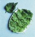 JustSeed Perilla - Shiso Green - 450 Seeds