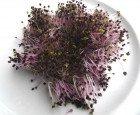 50 g BIO Keimsprossen Basilikum ROT Samen für die Sprossenzucht Sprossen Mikrogrün Mikrogreen Keimsaat