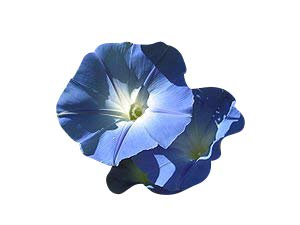 100 frische Samen der echten Prunkwinde -Ipomea tricolor- 'Heavenly blue' Morning glory *USA Import*