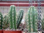 Trichocereus Peruvianus 50 Samen - San Pedro Kakteen Kaktus (Mit Anzuchtanleitung)