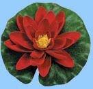 Dekorseerose rot, 14 cm, mit Regentropfen