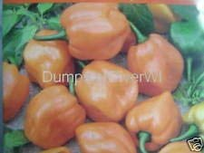 vegherb Habanero-Pfeffer orange 35 Samen Scotch Bonnet Super Hot Organic Nicht-GVO