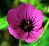 geranium-anne-thomson-agm