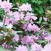 10+ Samen von Rhododendron carolinianum ROSEBAY RHODODENDRON Seeds