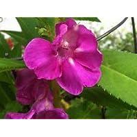 PlenTree Impatiens balsamina Rose | bálsamo | Toca-Me-Not | 20_Seeds