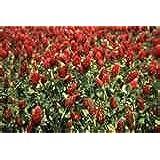 Premier Seeds Direct CLO01 25g Green Manure Crimson Clover Finest Seeds