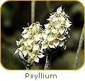 1000 FRENCH PSYLLIUM (Dark Psyllium/Spanisch Psyllium/Flohsamen) Plantago Psyllium Herb Blumensamen