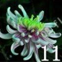 100 PC bunte Chrysantheme Samen, bunte Blumensamen, schöne Topfpflanze Samen