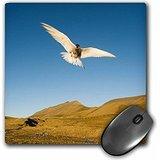 danita-delimont-birds-norway-spitsbergen-longyearbyen-arctic-tern-in-flight-mousepad-mp-209654-1