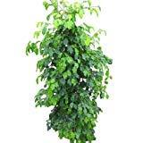 Zimmerpflanze für Wohnraum oder Büro - Ficus benjamina - Birkenfeige. Höhe 1,50m