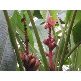 Pinke/Rosa Zwergbanane (Kenia-Banane) 500 Samen