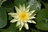 1-water-lily-variety-colonel-welch-yellow-flower