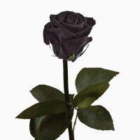 rosa-natural-color-negro-preservada-en-estuche-conservacion-envio-urgente-24h-ahora-con-tarjeta-con-
