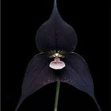 Cuir Dor - 25 Semillas Orchid Monkey Face Black - Orquídea cara de mono negro