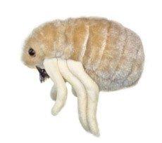 Giant Microbes Puce (Ctenocephalides Felis)