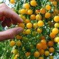 Tomate - Gold Rush Currant- 10 Samen von Samenchilishop bei Du und dein Garten