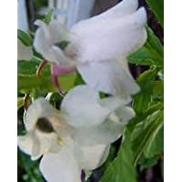 PlenTree Impatiens balsamina blanco | bálsamo | Toca-Me-Not | 20_Seeds