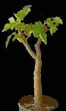 PLAT FIRM Biodieel Jatropha Curca Bonai Rare ucculent Bonai Cacti Samen 100 Samen