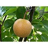 Asiatische Birne, (Chinese Sand Birne), Nashi-Birne, 30 Baumsamen (Edible, Fast) -