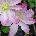 Pinkdose 1 stücke Clematis birne bonsai schnell wachsende gartenblume chinesische lianas kletterpflanze regenbogen blume für garten: 9