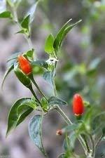 GEOPONICS Pequin Pfeffer Chili-Samen (Capsicum annum) sehr heiß, Erbstück Chile Pequin! (30 Samen)
