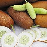Portal Cool Puneri Poona kheera Concombre Indian 10 - Liveseeds Meilleures graines
