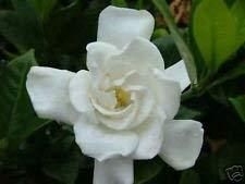 Farmerly 10 Seeds of Gardenia Jasminoides 'Chuck Hayesâ€TM Hardy Gardenia Seeds! -