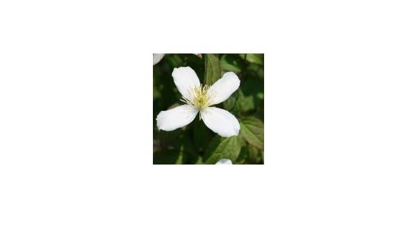 Clematis \'Wilsonii\' - Clematis montana \'Wilsonii\': Amazon.de: Garten