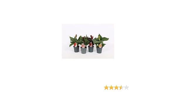 1 Pflanze Canna 40cm, /-,Blumenohr, Gartenpflanze, Kübelpflanze ...