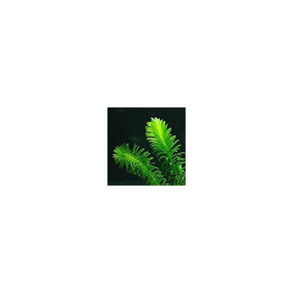 5 x Oxygenating Weed Live Pond Plant ELODEA DENSA – Also Aquarium Aquatic Plants