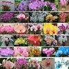 .100pcs Schöne Affegesicht Orchideen Samen Mehrere Sorten Bonsai Pflanzen Samen für Heim & Garten
